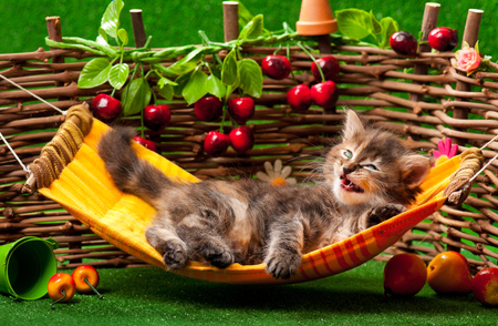 wattle: Cute fluffy kitten on the hammock over wattle fence