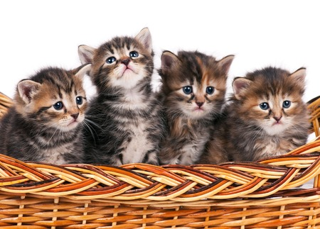 shape cub: Four cute siberian kittens in a wicker basket over white background Stock Photo