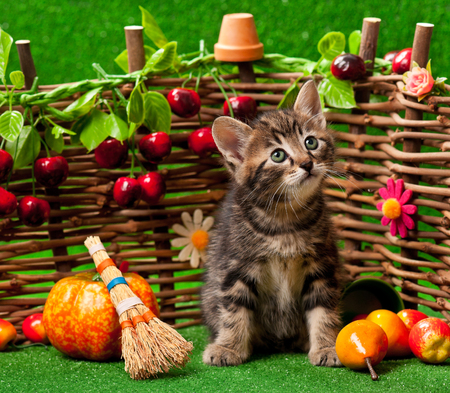 observant: Siberian kitten on the bright artificial grass over decorative wattle fence background