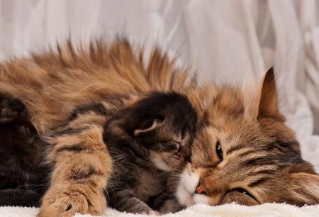 흰색 배경 위에 작은 새끼 고양이와 귀여운 시베리아 고양이