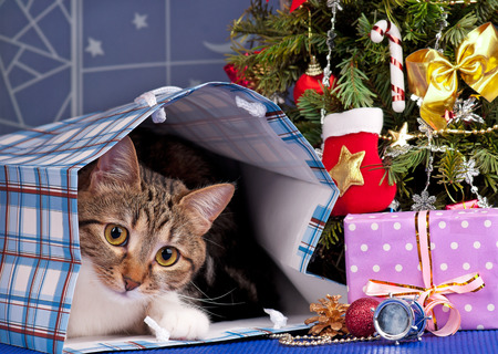 adult toys: Adult tabby near Christmas spruce with gifts and toys over blue background Stock Photo