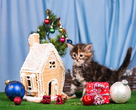 lodge: Cute siberian kitten near gingerbread lodge with Christmas gifts and toys over blue background