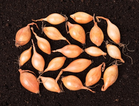 raw gold: Raw gold onions over organic soil background Stock Photo