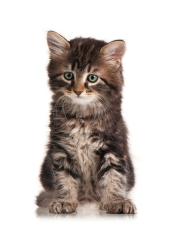 self harm: Cute fluffy siberian kitten isolated on a white background cutout Stock Photo