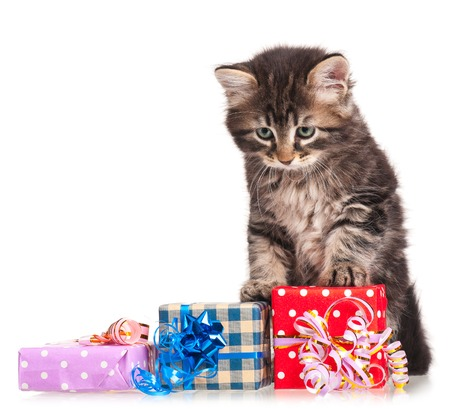 shape cub: Cute fluffy siberian kitten with gift-box isolated on white background