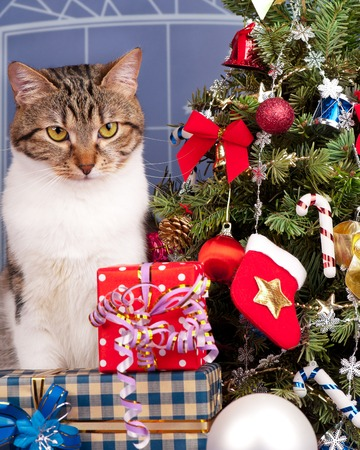 rigorous: Rigorous adult tabby near Christmas spruce with gifts and toys over blue background