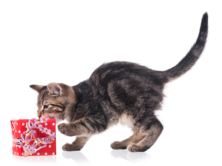christmas pussy: Cute little siberian kitten with gift-box isolated on white background