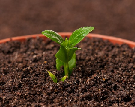 sprouted: Sprouted young plant in the organic soil background close-up Stock Photo