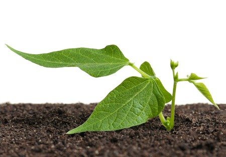 haricot: Young haricot sprout on a organic soil over white background