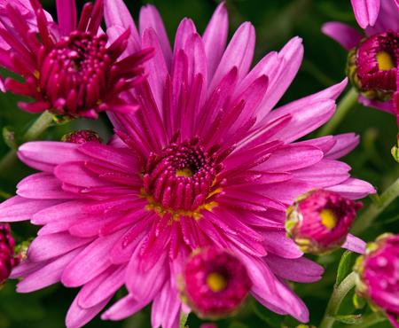 fragrant: Bright magenta chrysanthemum over green background Stock Photo