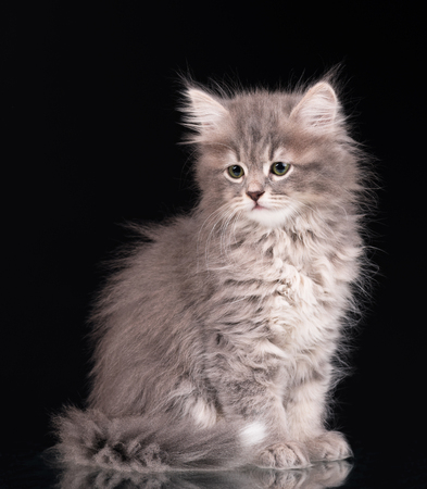 intriguing: Cute fluffy grey kitten over black background