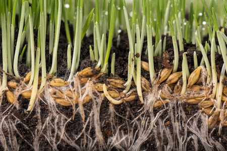 grass roots: Bright green grass with roots in the organic soil