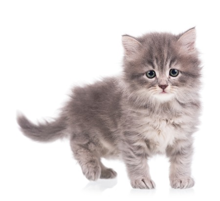 intriguing: Cute fluffy grey kitten over white background