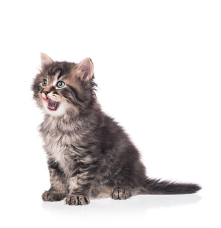self harm: Cute siberian kitten isolated on a white background cutout Stock Photo