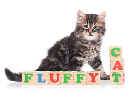 siberian: Cute siberian kitten with playing cubes isolated over white background