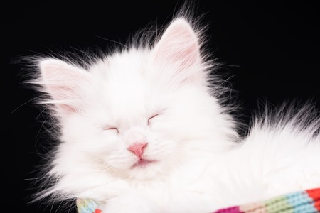 pity: Asleep fluffy white kitten in a warm knitted scarf over black background