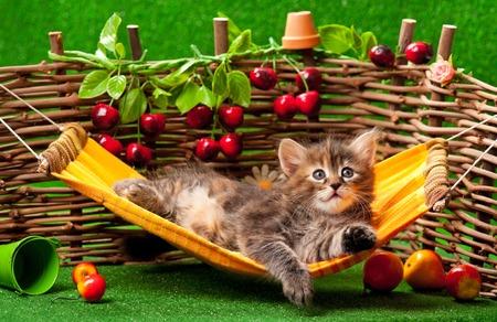 pet animal: Cute fluffy kitten on the hammock over wattle fence background