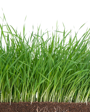 grass roots: Bright green grass with roots in the organic soil over white background