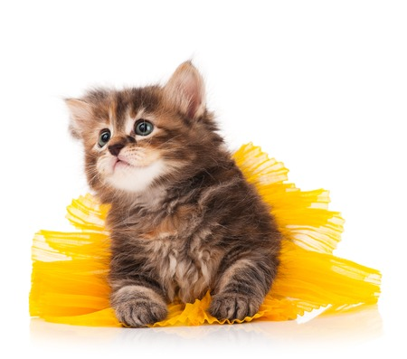Cute fluffy kitten dressed in the tutu having a rest over white background