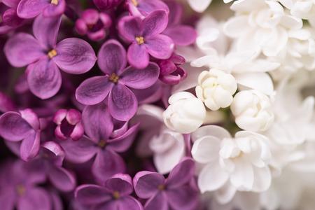 녹색 잎 배경 위에 보라색과 흰색 라일락 꽃 스톡 콘텐츠