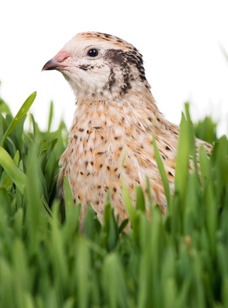 Cute adult quail in the grass over white background Zdjęcie Seryjne