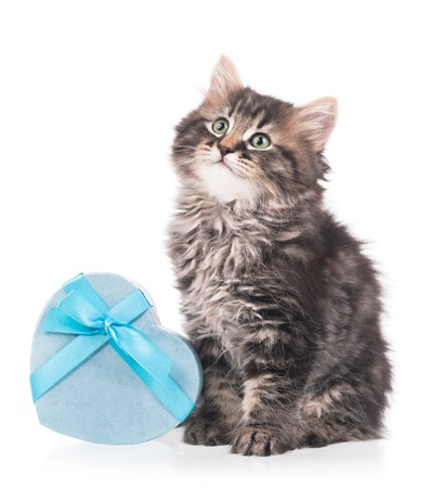 shape cub: Cute siberian kitten with gift box isolated over white background Stock Photo