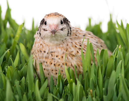 Cute quail in the straw nest on the grass over white background