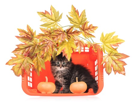 Cute fluffy kitten with basket and decorative foliage over white background Stock Photo