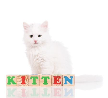 siberian: Cute fluffy white kitten with playing cubes isolated over white background