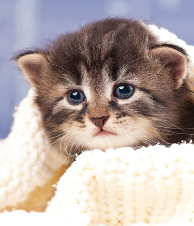 Cute siberian kitten in a warm knitted sweater over light blue background