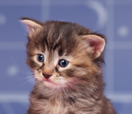 Portrait of a cute siberian kitten over light-blue background