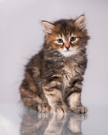 Cute fluffy little kitten over grey background Stock Photo