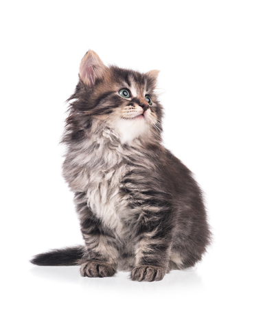 Cute siberian kitten isolated on a white background cutout Stock Photo