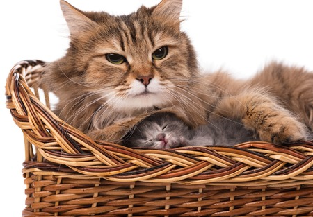 Cute siberian cat with little kitten isolated over white background