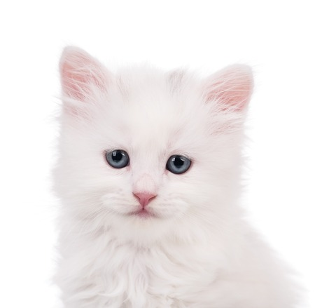 intriguing: Portrait of cute siberian kitten over white background close-up