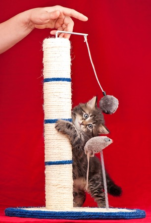 Curious kitten on the scratching post over red background Stock Photo