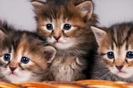 shape cub: Cute siberian kittens in a wicker basket over grey background