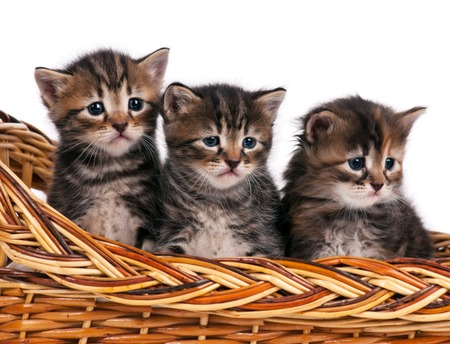 shape cub: Cute siberian kittens in a wicker basket over white background Stock Photo