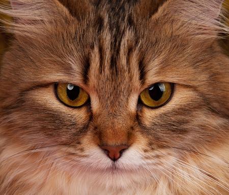 Portrait of a siberian beautiful adult cat close-up