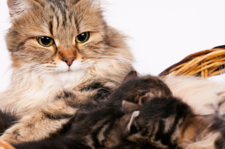 Cute newborn siberian kittens with their mother on the background. Focus on the adult cat