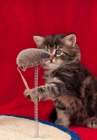 Nieuwsgierig Siberisch katje op de krassende post over rode achtergrond Stockfoto