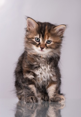 self harm: Cute fluffy siberian kitten over grey background Stock Photo