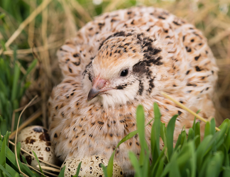 Cute adult quail with eggs in the straw nest close-up