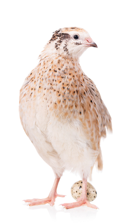 speckle: Cute adult quail with egg  isolated over white background cutout Stock Photo