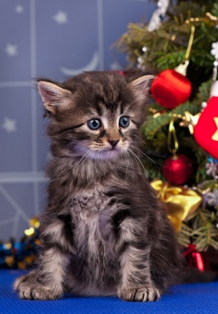 christmas pussy: Cute fluffy kitten near Christmas spruce with gifts and toys over blue background