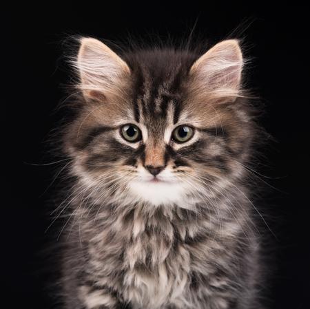 Cute fluffy siberian kitten over black background Stock Photo