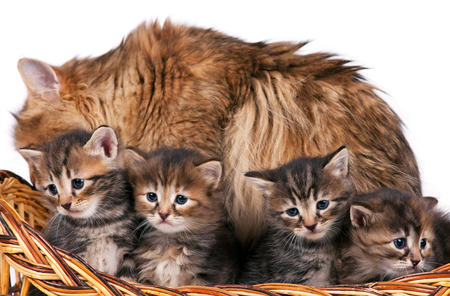 Cute siberian cat with little kittens isolated over white background Stock Photo