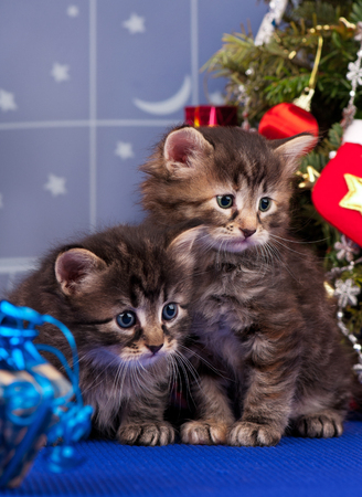 christmas pussy: Cute siberian kittens near Christmas spruce with gifts over blue background