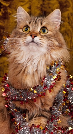 christmas pussy: Beautiful siberian cat decorated with Christmas garland over dark background Stock Photo