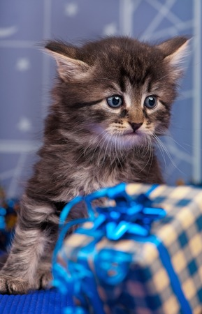 christmas pussy: Cute fluffy kitten with Christmas gifts and over light-blue background Stock Photo